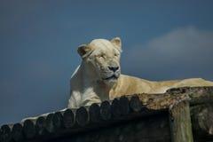 Raya-menos blanca del tigre de Bengala fotos de archivo
