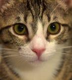 Rayado con el gatito blanco del shorthair Imagen de archivo libre de regalías