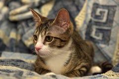 Rayado con el gatito blanco del shorthair Fotos de archivo libres de regalías