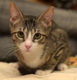 Rayado con el gatito blanco del shorthair Fotografía de archivo libre de regalías