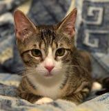 Rayado con el gatito blanco del shorthair Foto de archivo libre de regalías