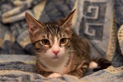 Rayado con el gatito blanco del shorthair Imágenes de archivo libres de regalías