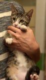 Rayado con el gatito blanco del shorthair en manos Imagen de archivo
