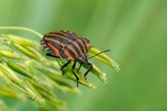 Rayado-insecto italiano Fotos de archivo