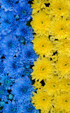 Rayas azules y amarillas con las flores coloreadas Fotografía de archivo libre de regalías