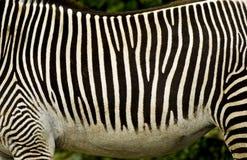 Rayas blancos y negros de la cebra Foto de archivo
