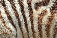 Rayas de la cebra Foto de archivo libre de regalías