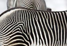 Rayas de la cebra Fotografía de archivo libre de regalías