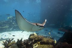 Raye. Spotted Eagle-rays (Aetobatus narinari) swimming over coral reef Stock Photo