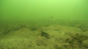 Rayfish de ¡ de Ð clips vidéos