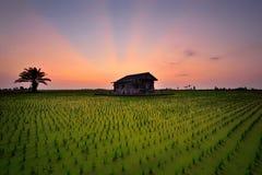 Rayo de la puesta del sol en el campo de arroz Imagenes de archivo