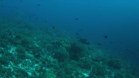 rayo de Manta 4k en un arrecife de coral metrajes