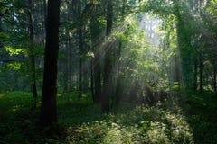 Rayo de sol que entra en el bosque de hojas caducas rico Fotografía de archivo