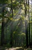 Rayo de sol que entra en el bosque de hojas caducas rico Fotos de archivo libres de regalías