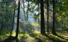 Rayo de sol que entra en el bosque de hojas caducas rico Imagen de archivo
