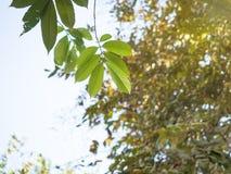 Rayo de Sun con el cielo azul de las nubes y el follaje fresco Verde fresco de la sol que filtra a través de las hojas fotos de archivo libres de regalías