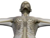 Rayo X del cuerpo humano y del esqueleto Fotos de archivo libres de regalías