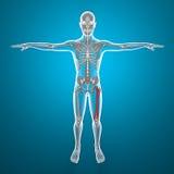 Rayo del fémur X del cuerpo humano y del esqueleto Foto de archivo libre de regalías
