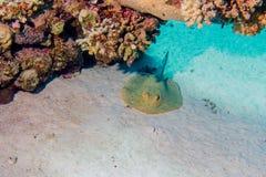 Rayo del ribbontail de Bluespotted bajo corales imagenes de archivo