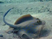 Rayo manchado azul de la laguna Fotos de archivo