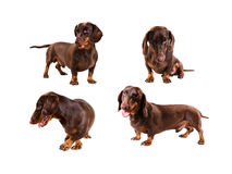 rayon de dachshund Photo stock