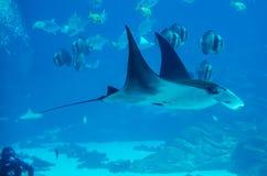 Rayon de Manta flottant sous l'eau image stock