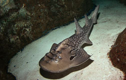 Rayon de requin Images libres de droits