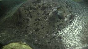 Rayon de rose des vents de Blotched, peau marbrée de meyeni de Taeniurops de pastenague sous le corail pendant le temps de jour d clips vidéos