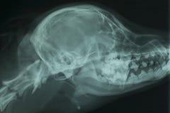 Rayon X du crâne d'un chien photographie stock libre de droits
