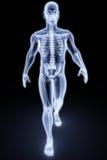 Rayon X humain Photographie stock libre de droits