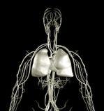 Rayon X de coeur et de poumon Photos stock