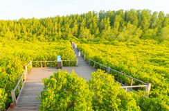 Golden mangrove field or Tung Prong Thong Royalty Free Stock Photography