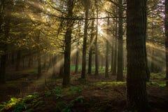 Rayons évidents du soleil dans une forêt brumeuse Photographie stock