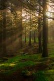 Rayons évidents du soleil dans une forêt brumeuse Photo libre de droits