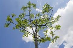 Rayons d'arbre d'été au soleil Image libre de droits