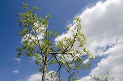 Rayons d'arbre d'été au soleil Photographie stock libre de droits