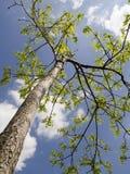 Rayons d'arbre d'été au soleil Photos stock