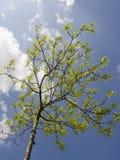Rayons d'arbre d'été au soleil Photographie stock