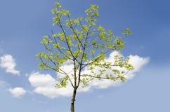 Rayons d'arbre d'été au soleil Photo libre de droits