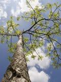 Rayons d'arbre d'été au soleil Images libres de droits