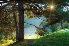 Rayons d'arbre et de soleil de pin par les branchements Photos stock