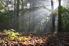 Rayons dans la forêt Photographie stock libre de droits