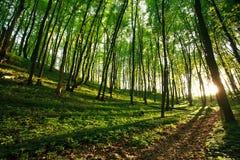 Rayons de lumière du soleil dans la forêt verte Photos libres de droits
