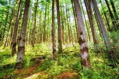 Rayons de lumière du soleil par de vieux arbres de forêt primitive à feuilles persistantes Images libres de droits
