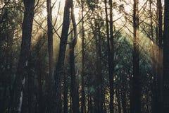 Rayons de lumière du soleil par les arbres dans la forêt argentine photos libres de droits