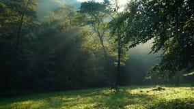 Rayons de soleil par les branches d'arbres forestiers banque de vidéos