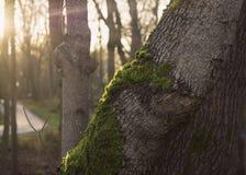 Rayons de soleil sur le tronc d'arbre moussu dans la forêt d'automne Photographie stock libre de droits