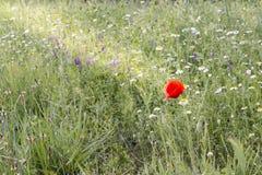 Rayons de soleil sur un pavot Image stock