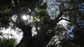 Rayons de Sun brillant par les feuilles du grand arbre clips vidéos