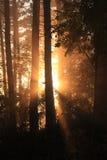 Rayons de Sun dans la forêt Photos libres de droits